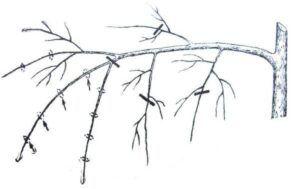 odřez větve