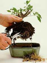 pěstování bonsají