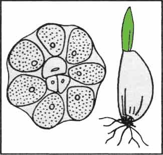 U česneku bereme k výsadbě pouze obvodové, dobře vyvinuté stroužky, které zaručují bohatou sklizeň