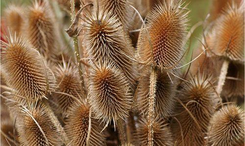 Dipsacus sylvestris - štětka lesní, jedna z rostlin s širokým uplatněním ve vazbě. Uplatní se v různých kombinacích s travami, květy, ve vázách i v selské keramice