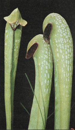 Masožravé rostliny - Špirlice bělolistá, největší druh svého rodu, lovící i drobné obratlovce