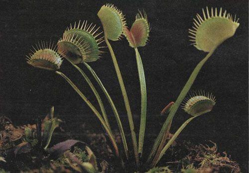 Masožravé rostliny - Mucholapka podivná (Dionaea muscipula)