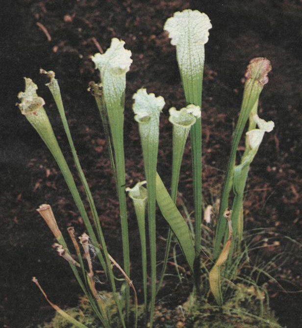 Masožravé rostliny- Špirlice menší (Sarracenia minor)