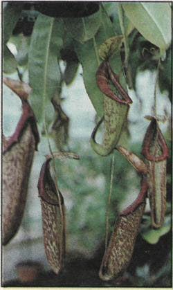 Masožravé rostliny - Nepenthes cv. Mixta, nejvíce doporučovaná láčkovka, se zvláště rozměrnými pastmi