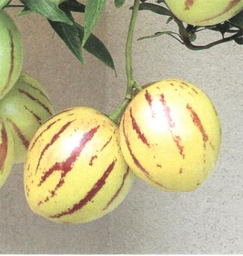 Solanum muriaticum (S. muhcatum)