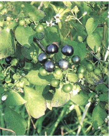 Litek guinejský (S. nigrum var. guineensé)
