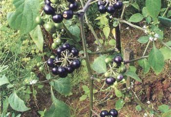 Lilek černý (s. nigrům)