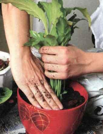 NÁVOD přesazování pokojových rostlin