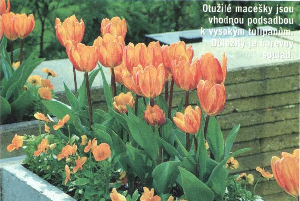 tuIipány v květináče