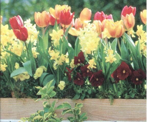 tulipáy na balkoně