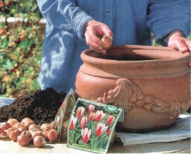 Sázíme cibule tulipánů