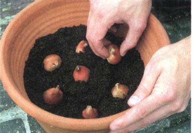 pěstování tuIipánů v květináče