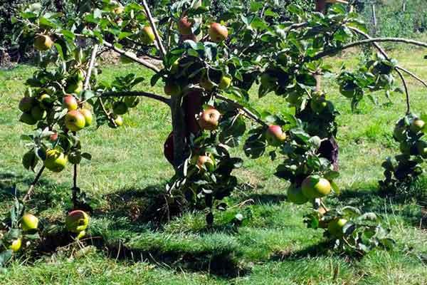Podnože pro jabloně