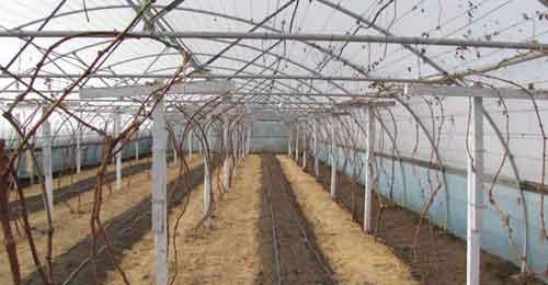 réva ve skleníku