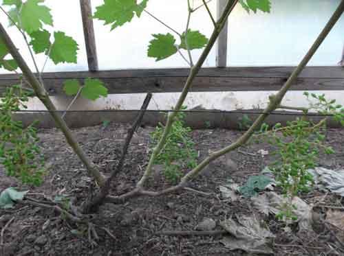 Réva vinná ve skleníku