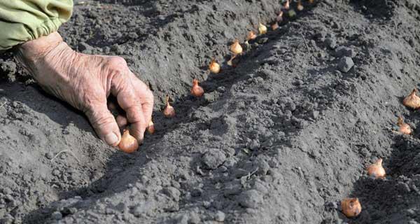 Sázení cibule sazečky
