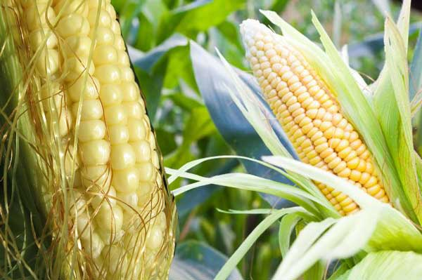 Kukuřice cukrová pěstování