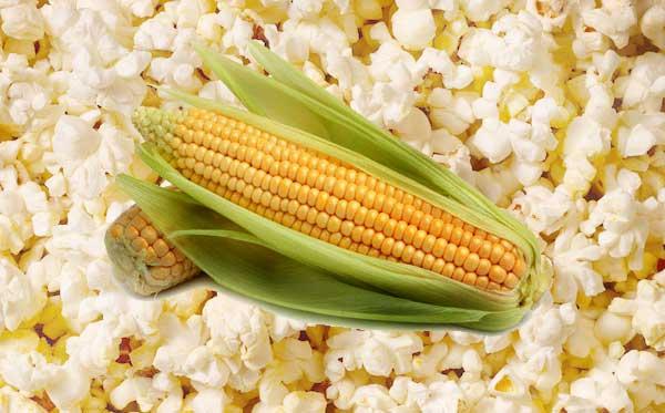 Kukuřice pukancová pěstování
