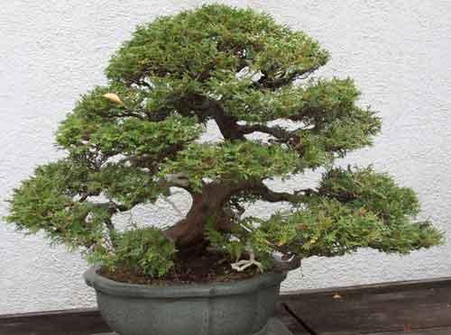 bonsaje pro začátečníky