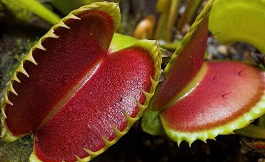 Mucholapka-(Dionaea)