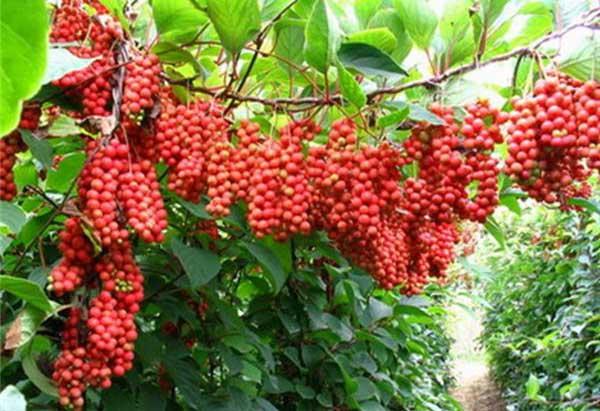 Klanopraška čínská | Schizandra chinensis
