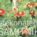 Aksamitník (Tagetes) - afrikán