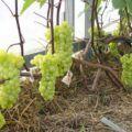 Réva vinná pěstování ve skleníku