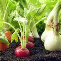 Smíšené kultury zelenin
