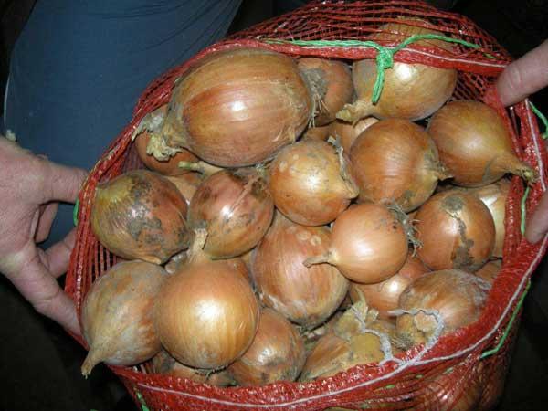 Cibule kuchyňská pěstování