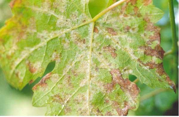 Houbové choroby révy vinné