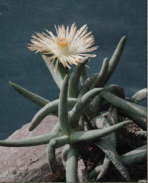 Cylindrophyllum calamiforme