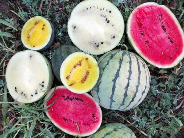 odrudy-melounu
