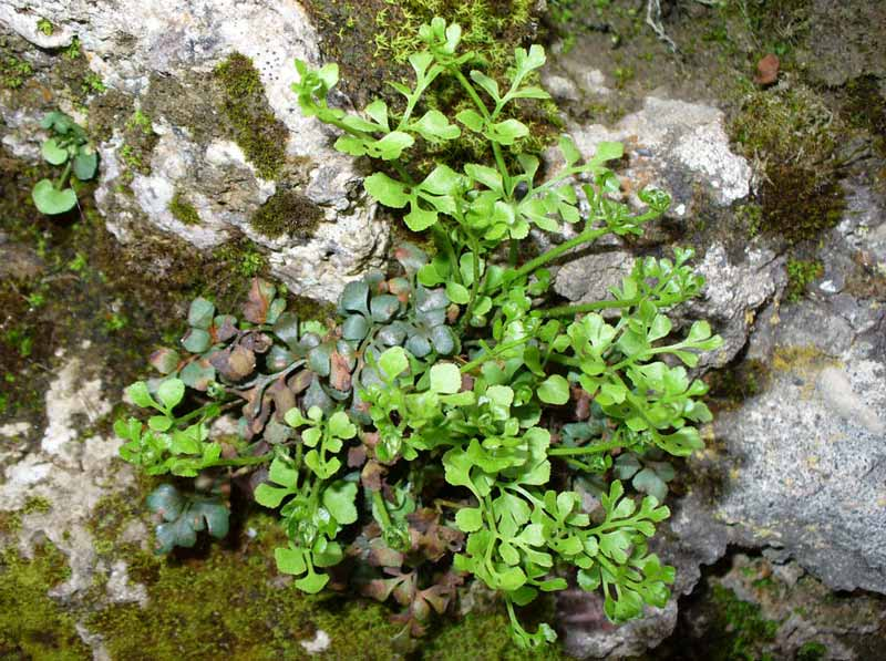 ASPLENIUM ruta muraria (sleziník routička)