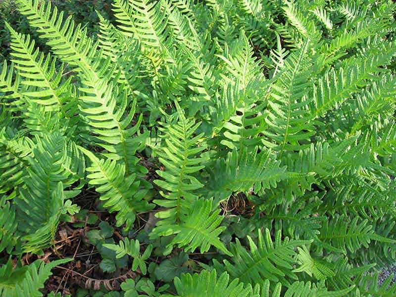 POLYPODIUM vulgare (osladič obecný)