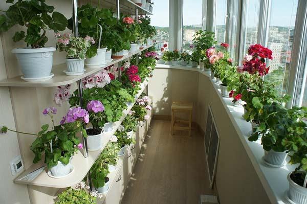 pěstování pelargonie na balkoně