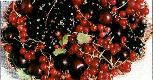 ovoce (rybíz černý a červený, třešně)