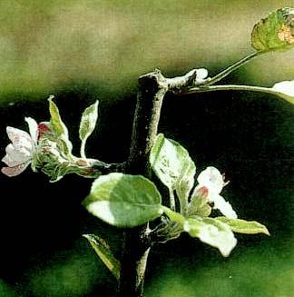vykvétání jabloně 'Idareď