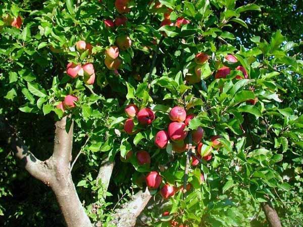 Očkování ovocných dřevin