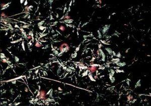 Padlí jabloňové