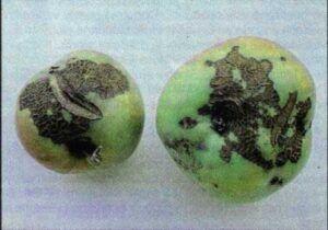 Strupovitost jabloně