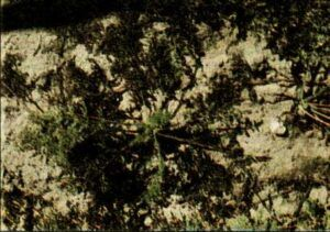 Suchá skvrnitost listů mrkve