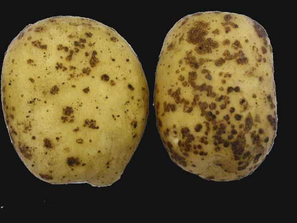 vady raných brambor - Rhizoctonia solani