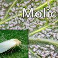 Molice skleníková (Trialeurodes vaporariorum)