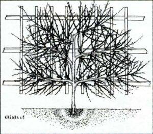 Nektarinka pěstovaná na nízké zdi