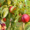 Nektarinky pěstování