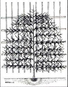 Nektarinka vedená na vysoké zdi
