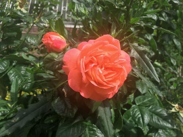 Ochrana růží proti chorobám, škůdcům