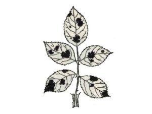 Černá skvrnitost listů růží