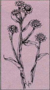 Ammobium alatum - pískožil křídlatý