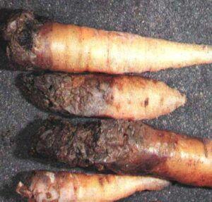 Mokrá hniloba kořenů mrkve